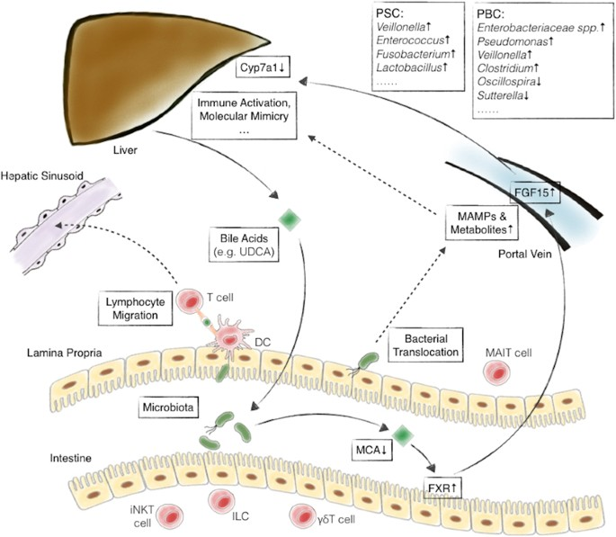 The microbiome and autoimmunity: a paradigm from the gut–liver axis