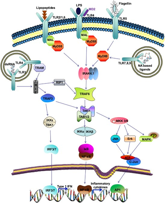 Negative Regulatory Approaches To The Attenuation Of Toll-like Receptor  Signaling | Experimental & Molecular Medicine