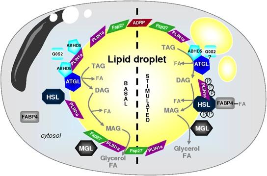 adipocyte lipases and lipid droplet