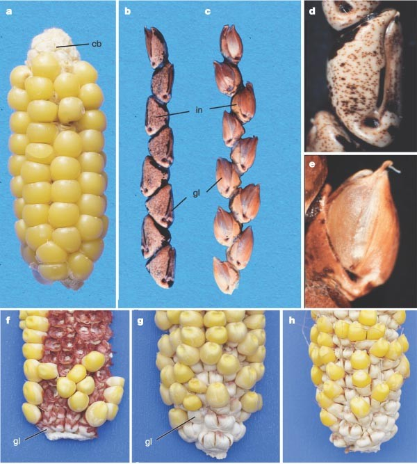 The origin of the naked grains of maize