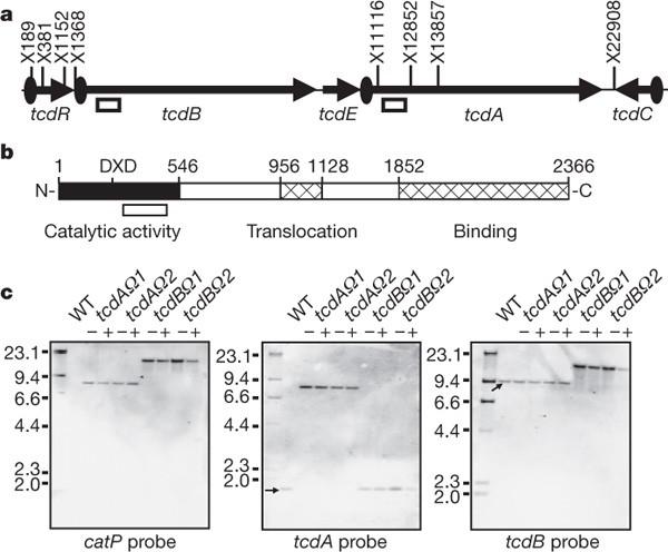 clostridium toxin b nehezen kezelhető hogyan lehet megtudni, hogy mik a férgek