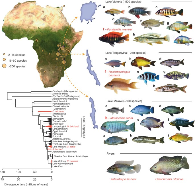 The genomic substrate for adaptive radiation in African cichlid fish    Nature
