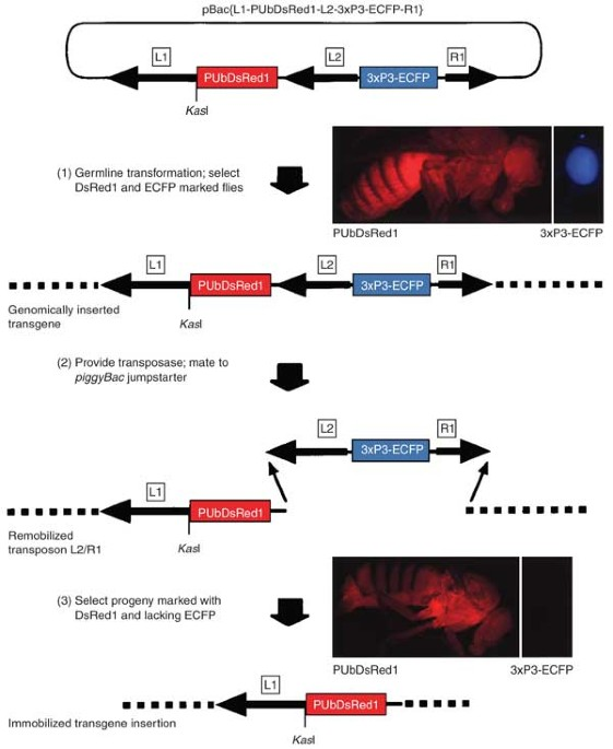 Post Integration Stabilization Of A Transposon Vector By
