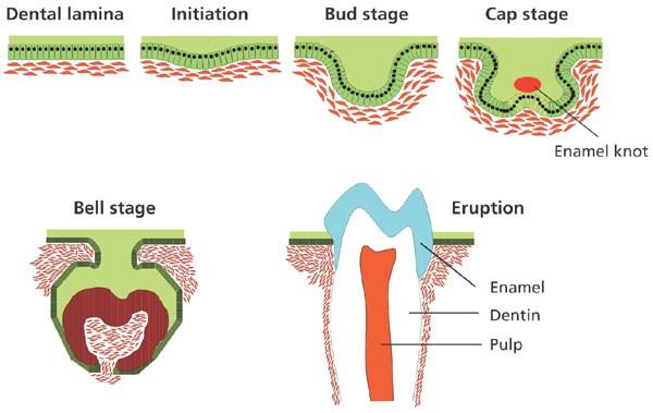 application  bone morphogenetic proteins  dental tissue engineering nature biotechnology