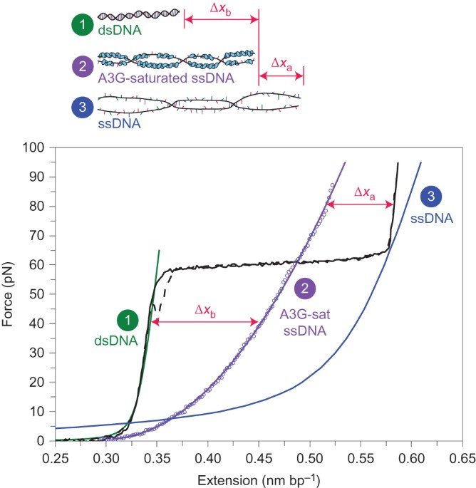 Oligomerization Transforms Human APOBEC3G From An