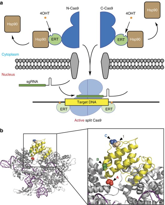 Ligand-binding Domains Of Nuclear Receptors Facilitate