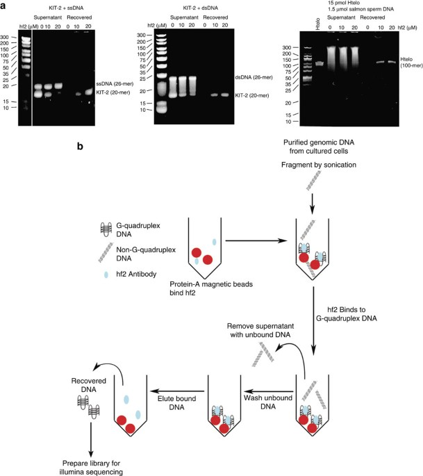 G-quadruplex structures are stable and detectable in human