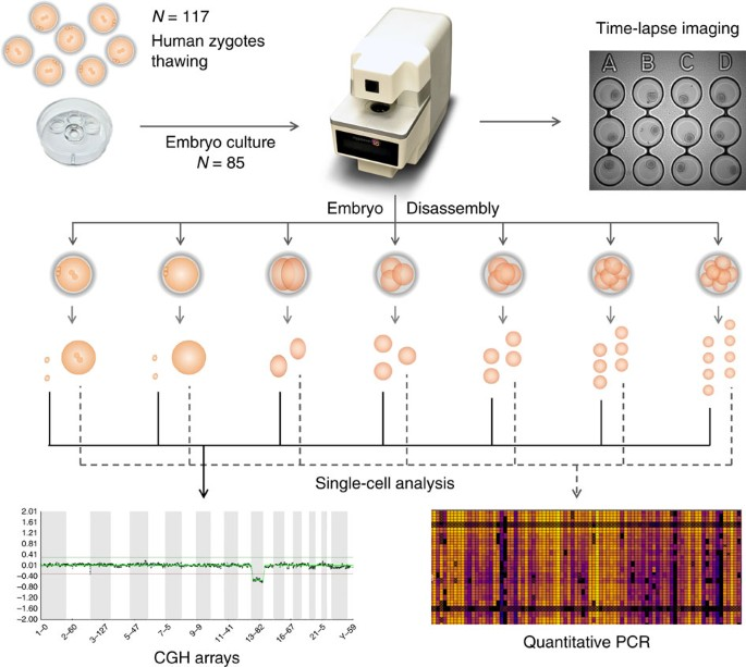Prediction Model For Aneuploidy In Early Human Embryo Development Revealed By Single Cell Analysis Nature Communications A zygote with y0 or yy (one or two y. human embryo development