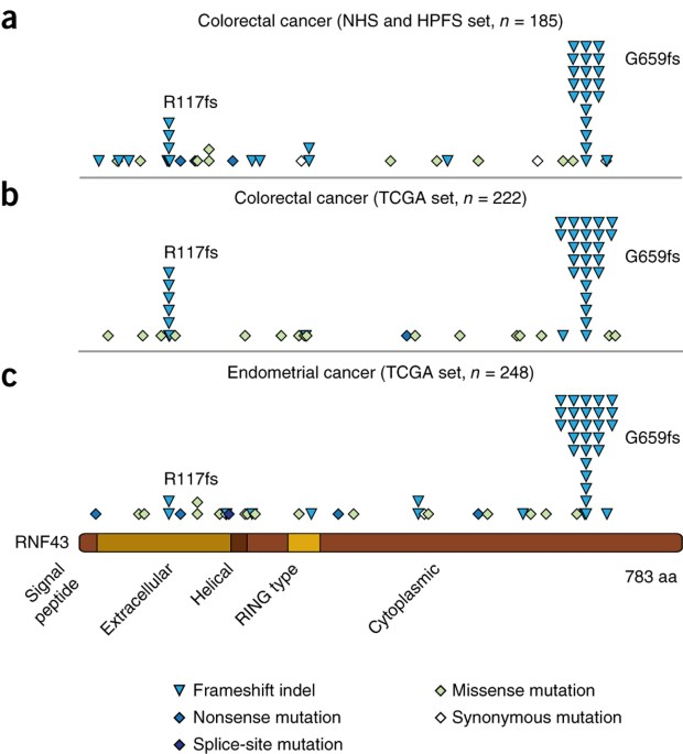 Rnf43 Is Frequently Mutated In Colorectal And Endometrial Cancers Nature Genetics