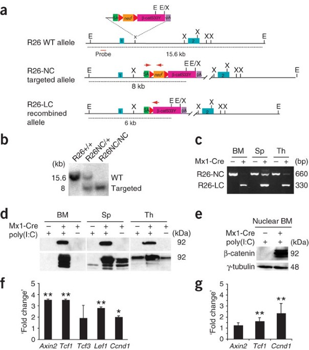 Activation of the canonical Wnt pathway leads to loss of