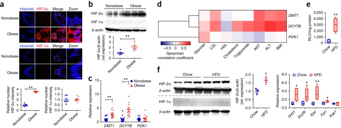 Activation of intestinal hypoxia-inducible factor 2α during obesity  contributes to hepatic steatosis | Nature Medicine