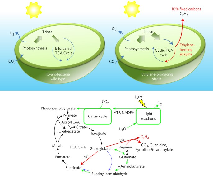 The Plasticity Of Cyanobacterial Metabolism Supports Direct Co 2 Conversion To Ethylene Nature Plants