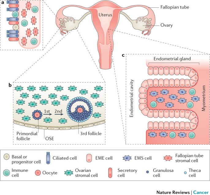 The Disparate Origins Of Ovarian Cancers Pathogenesis And Prevention Strategies Nature Reviews Cancer