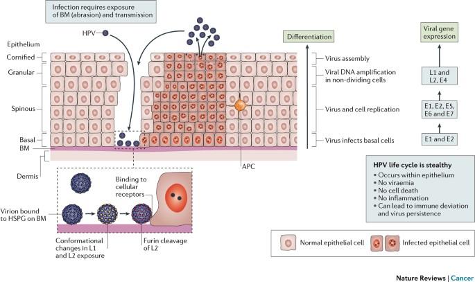 wart virus lifespan on surfaces