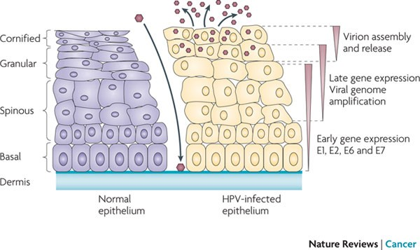 Life cycle of the hpv virus. Life cycle of hpv virus. Become a Reviewer, Hpv virus life cycle