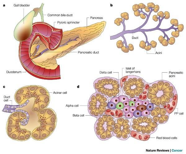 Pancreatic cancer review. Cancerul pancreatic