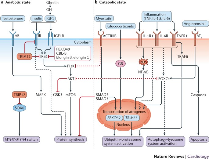 Muscle wasting and cachexia in heart failure: mechanisms and therapies |  Nature Reviews Cardiology