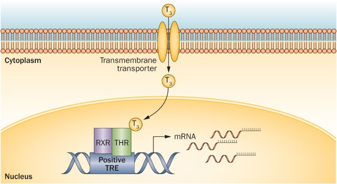 Thyroid Hormone Receptors And Resistance To Thyroid Hormone