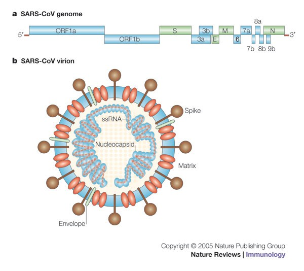 Immunopathogenesis of coronavirus infections: implications for SARS