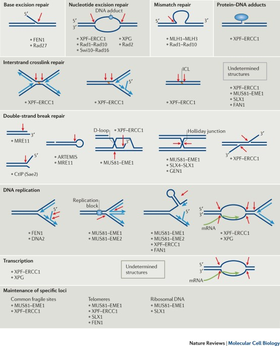Control Of Structure Specific Endonucleases To Maintain