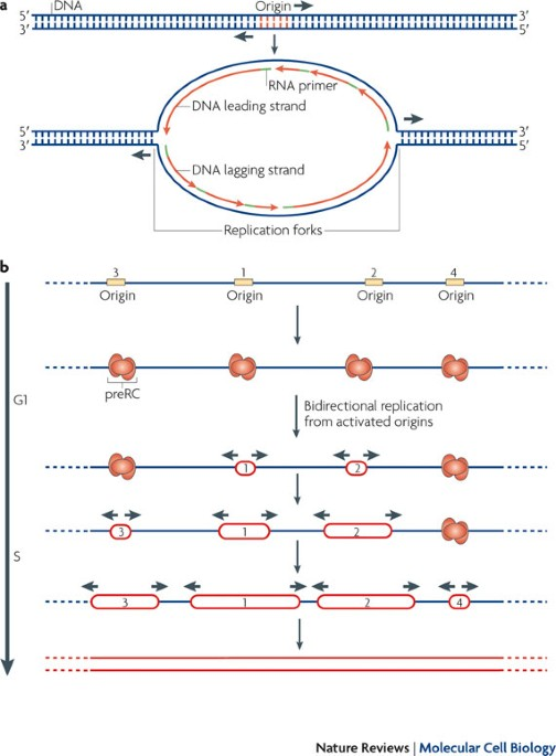 Eukaryotic Dna Replication Origins Many Choices For Appropriate Answers Nature Reviews Molecular Cell Biology