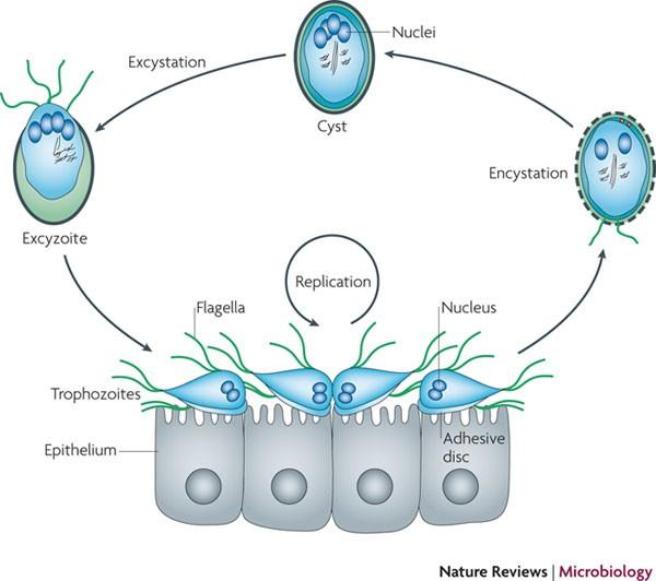 A giardiasis patogenezise - A giardiasis patogenezise Giardiasis