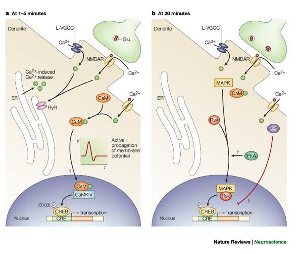Regulation Of Transcription Factors By Neuronal Activity Nature