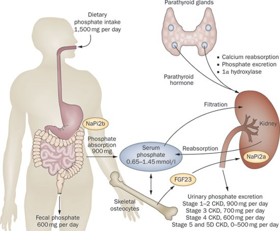 Pharmacology, efficacy and safety of oral phosphate binders | Nature  Reviews Nephrology