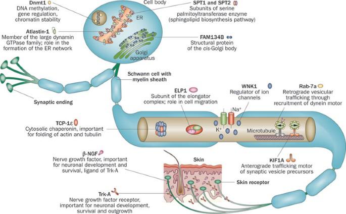 Hereditary Sensory and Autonomic Neuropathy Type IV (HSAN4)  Hereditary Sensory And Autonomic Neuropathy