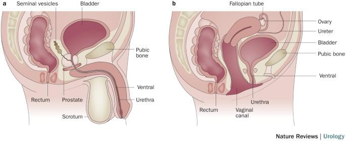 BNO-10-14 – Az urogenitális rendszer megbetegedései