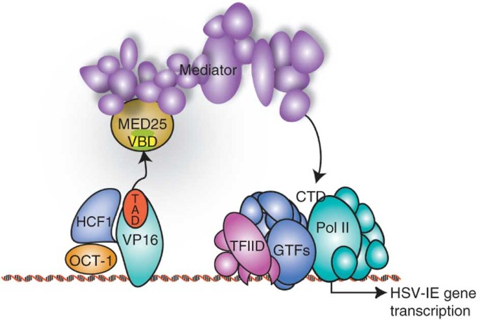 Structure of the VP16 transactivator target in the Mediator ...