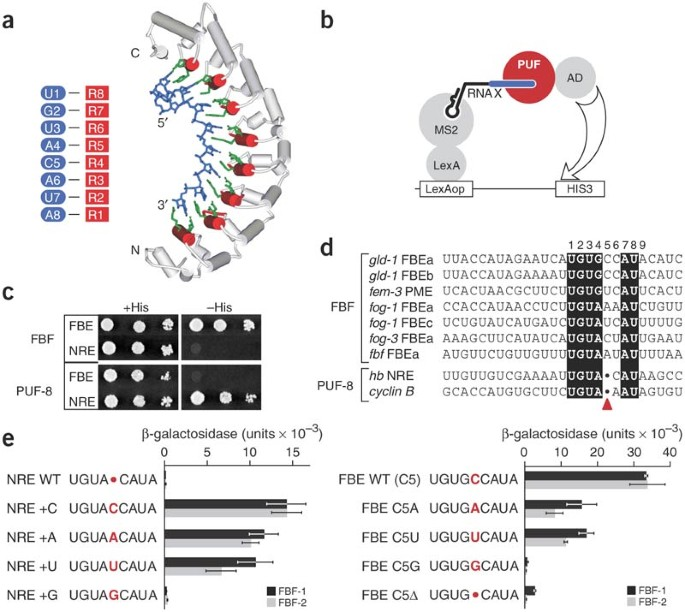 A single spacer nucleotide determines the specificities of two mRNA