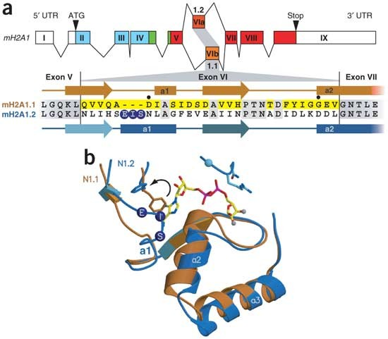 Splicing Regulates NAD Metabolite Binding To Histone