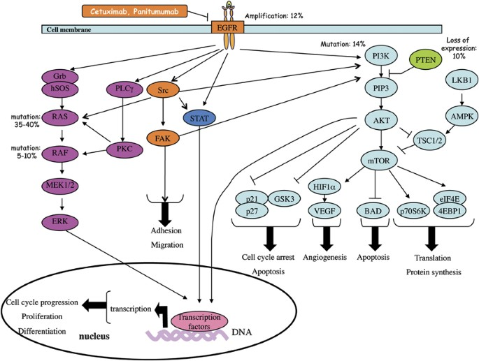 cancer colorectal egfr