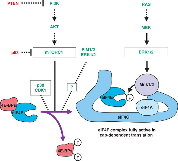 Anti-oncogenic Potential Of The EIF4E-binding Proteins
