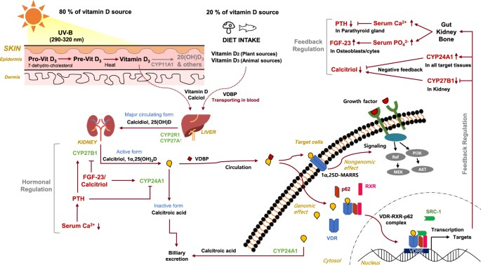 Exploring Vitamin D Metabolism And Function In Cancer Experimental Molecular Medicine