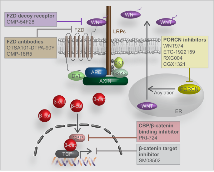Wnt Signaling In Cancer Therapeutic Targeting Of Wnt Signaling Beyond B Catenin And The Destruction Complex Experimental Molecular Medicine
