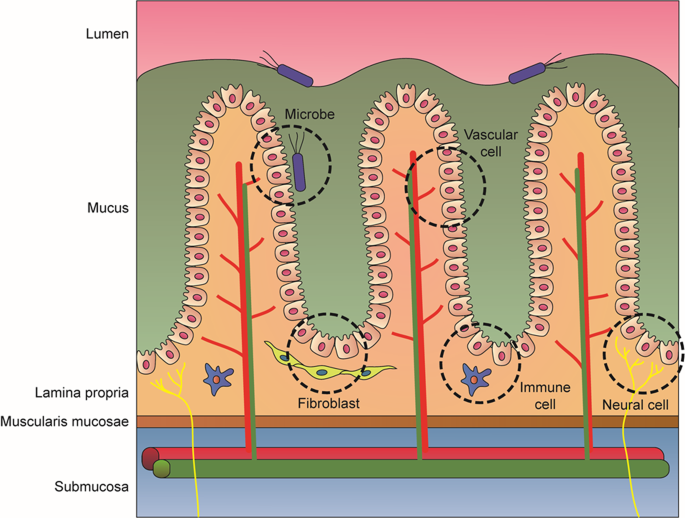 Gastrointestinal tract modeling using organoids engineered with cellular and microbiota niches