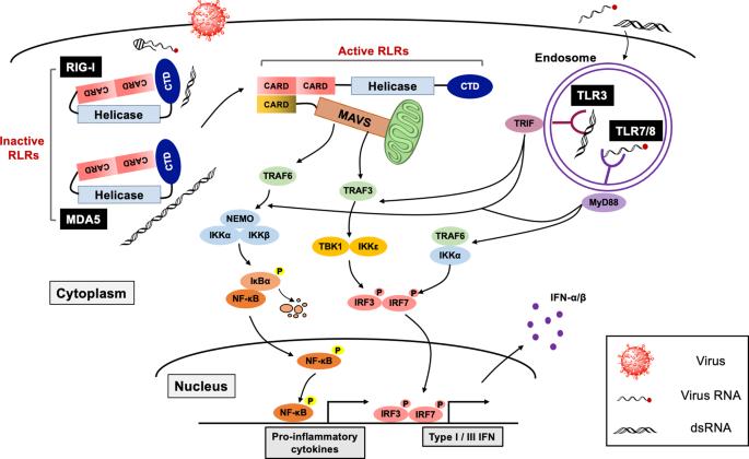 Innate immune sensing of coronavirus and viral evasion strategies