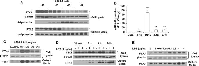 Pentraxin 3 deficiency exacerbates lipopolysaccharide-induced inflammation in adipose tissue