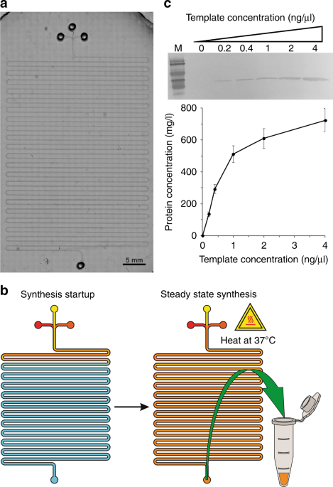 On-chip manufacturing of synthetic proteins for point-of-care therapeutics