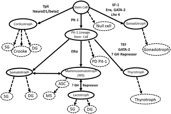 Epidemiology And Biomarker Profile Of Pituitary Adenohypophysial