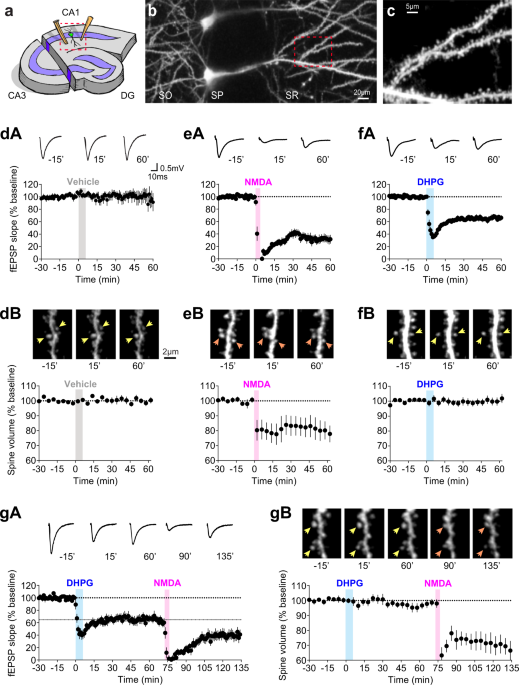 Dissociation of functional and structural plasticity of dendritic spines during NMDAR and mGluR-dependent long-term synaptic depression in wild-type and fragile X model mice