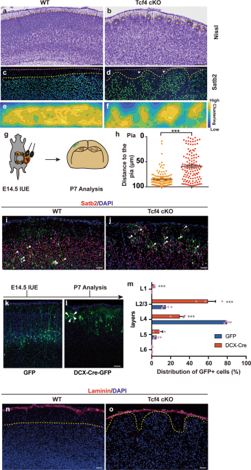 Transcription factor 4 controls positioning of cortical projection neurons through regulation of cell adhesion
