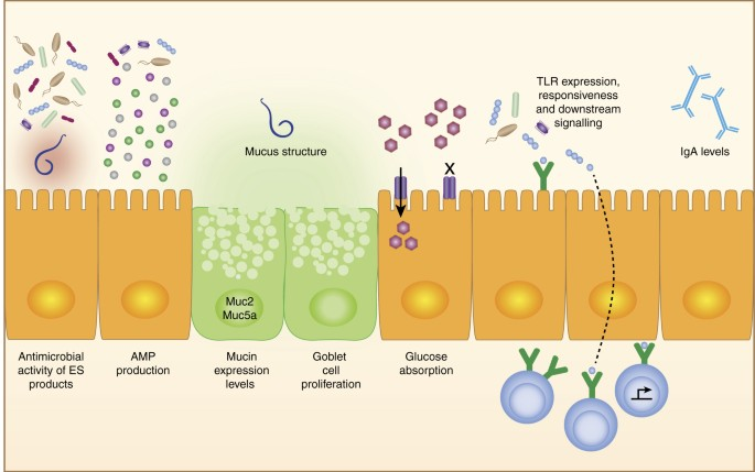 Helminth therapy microbiota