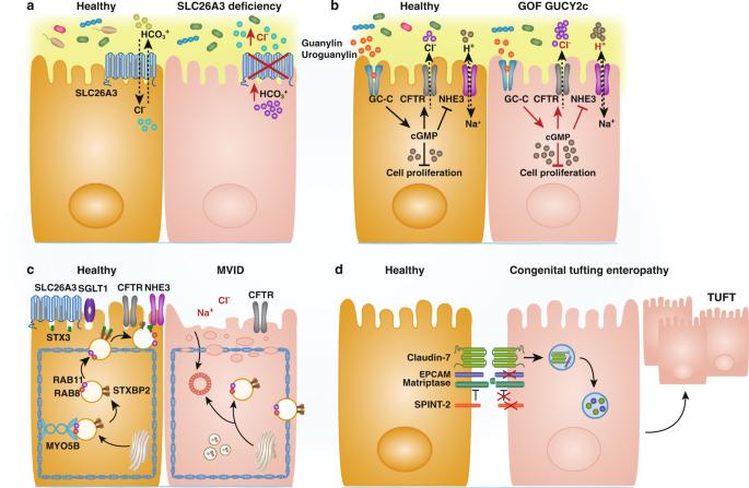 Intestinal immunoregulation: lessons from human mendelian diseases