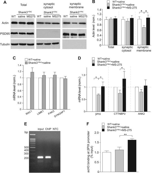 Treatment Restores Sociability In >> Histone Deacetylase Inhibitor Ms 275 Restores Social And Synaptic