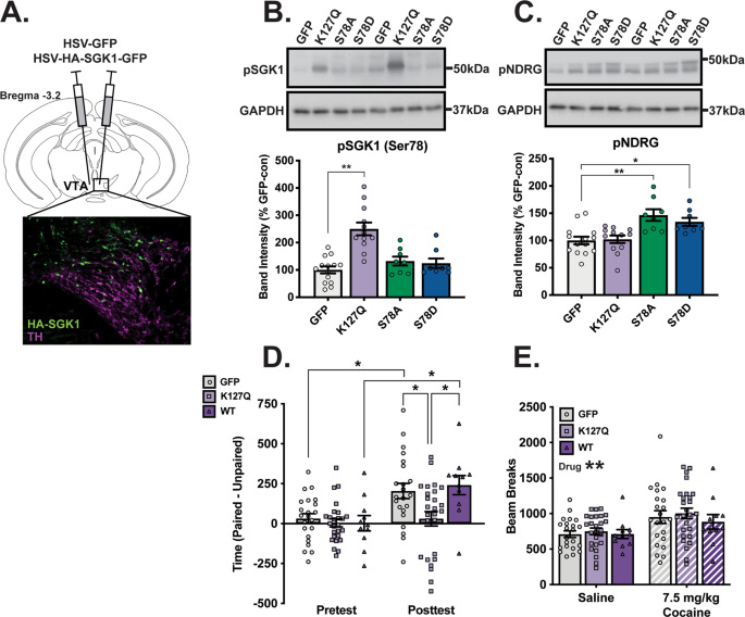 Serum- and glucocorticoid-inducible kinase 1 activity in ventral tegmental area dopamine neurons regulates cocaine conditioned place preference but not cocaine self-administration