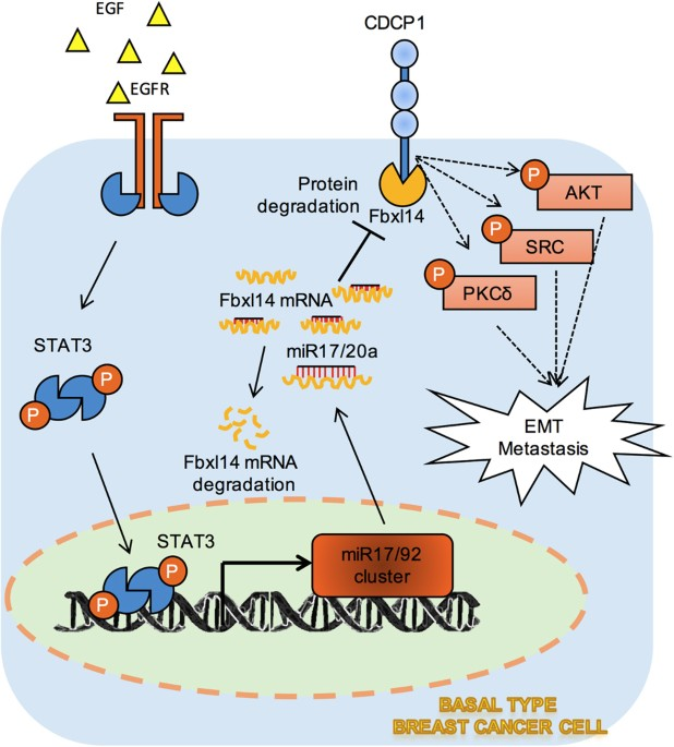Working model for EMT induction through CDCP1 protein stabilization in breast  cancer. Schematic representation of STAT3-dependent CDCP1 protein  degradation ...