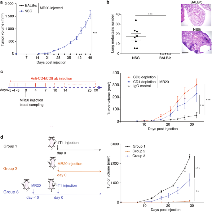 Type I interferon/IRF7 axis instigates chemotherapy-induced immunological dormancy in breast cancer
